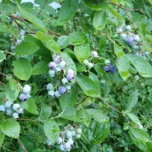 Blueberry hedge