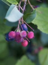 Shad berries