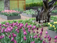 Tulip cutting garden