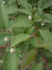 Stewartia buds