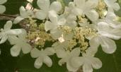 Doublefile Viburnum flower