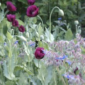 Bread seed poppies and borage