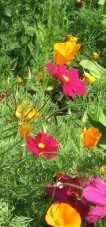 Cosmos and Cal. poppies