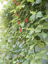 Wall of scarlet runner beans