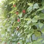 Wall of scarlet runner beans