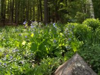 Mertensia among the ferns